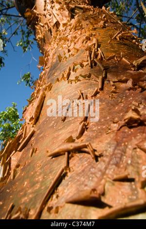 Close-up Gumbo Limbo l'écorce des arbres - J.N. Ding Darling Wildlife Refuge - Sanibel Island, Floride Banque D'Images