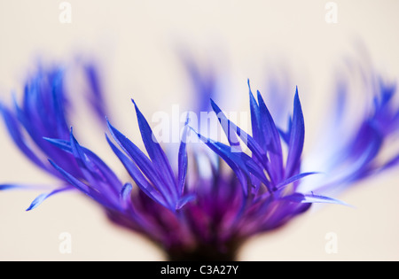 Centaurea montana. Bleuet vivace, la montagne, la centaurée bluet, centaurée de montagne sur fond clair. Selective Banque D'Images