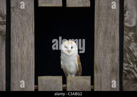 Effraie des clochers, Tyto alba, captive, Barn Owl Centre, Gloucestershire, Angleterre, Royaume-Uni, Royaume-Uni, Banque D'Images