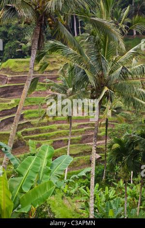 L'CEKING CHAMP DE RIZ Terrasses avec COCOTIERS non loin d'Ubud - Bali, Indonésie Banque D'Images