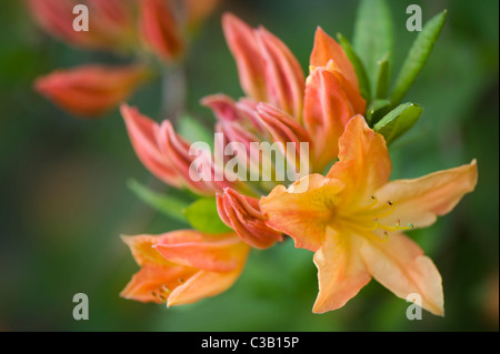 Rhododendron Sunte Nectarine - Orange Azalea fleurs Banque D'Images