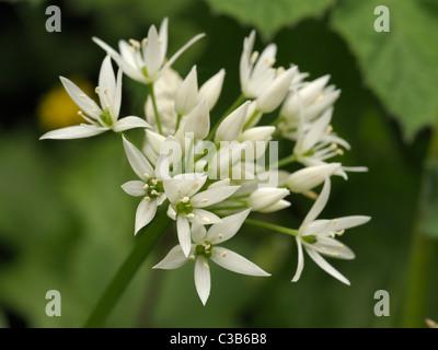 Ramsons ou ail sauvage, Allium ursinum Banque D'Images