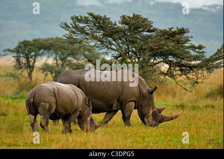 Rhinocéros blanc ou Square-lipped rhinoceros famille (Ceratotherium simum) dans le parc national de Nakuru de lac Banque D'Images