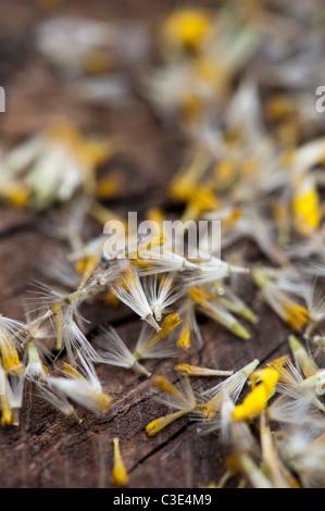 Maranta Caucasicum la finesse des graines de fleurs. Les léopards Bane graines de fleurs