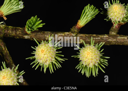 Femme mélèze (Larix decidua) début de saison parmi les fleurs de la croissance de l'aiguille