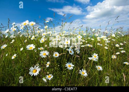 Banque d'ox-eye daisies (Leucanthemum vulgare), Comté de Sligo, Irlande. Banque D'Images