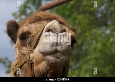 Le dromadaire ou chameau d'Arabie (Camelus dromedarius) dispose d'une lèvre supérieure fendue adaptée pour aider Banque D'Images