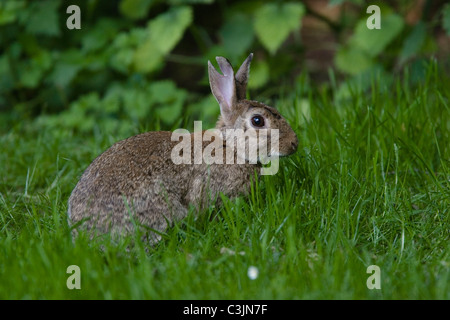 Wildkannichen, Oryctolagus cuniculus, lapin sauvage Banque D'Images