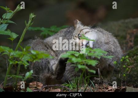 Chat Sauvage Européen (Felis silvestris silvestris) avec les jeunes, NP Bayerischer Wald, forêt de Bavière, Allemagne Banque D'Images