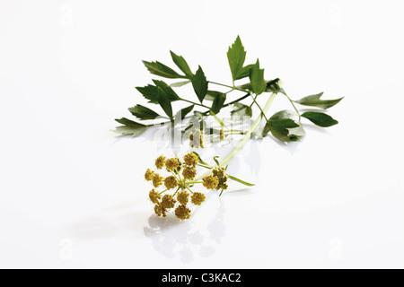 La livèche les fleurs et les feuilles sur fond blanc, close-up Banque D'Images