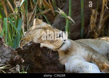 L'Afrique du Sud. Johannesburg. Lion. Panthera leo. La captivité. Banque D'Images