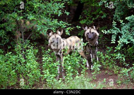 L'Afrique du Sud, Pretoria. Deux chien sauvage d'Afrique, peint aussi chien de chasse, Lycaon pictus. La captivité. Banque D'Images