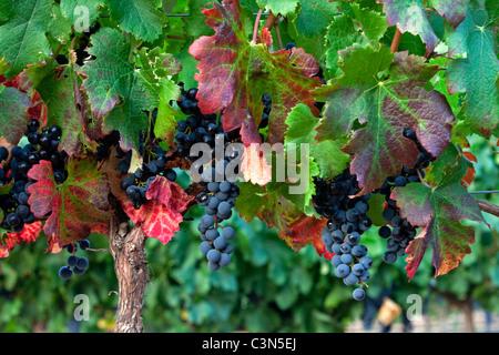 L'Afrique du Sud, Western Cape, près de Stellenbosch, raisins mûrs. Banque D'Images