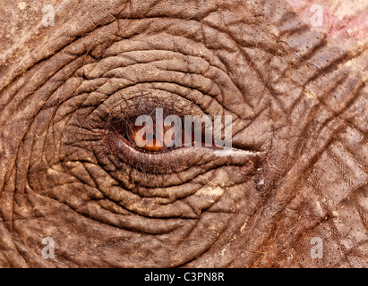 Close up d'un oeil d'un éléphant indien (Elephas maximus indicus), de l'Assam, Inde Banque D'Images