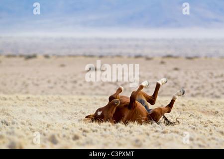 L'Afrique, la Namibie, le désert de Namib, cheval sauvage dans le Parc National Namib Naukluft Banque D'Images