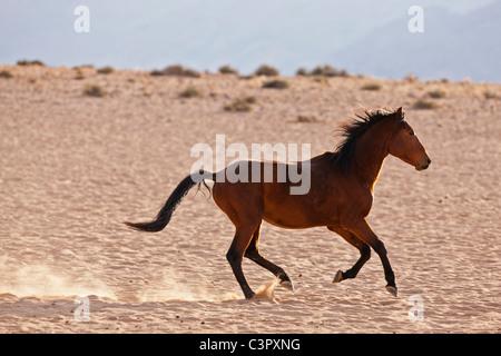 L'Afrique, la Namibie, le désert de Namib, Wild Horse dans le Parc National Namib Naukluft Banque D'Images