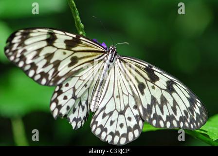 Cerf-volant de papier noir et blanc papillon sur une fleur Banque D'Images
