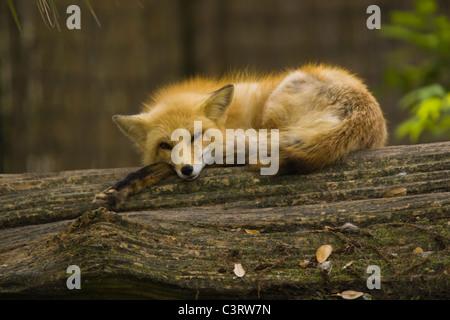 Le renard roux (Vulpes vulpes) est le plus grand des vrais renards Banque D'Images