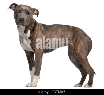 American Staffordshire Terrier, 8 mois in front of white background