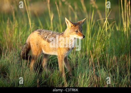 Le Chacal à dos noir (Canis mesomelas), Golden Gate Highlands National Park, Afrique du Sud Banque D'Images