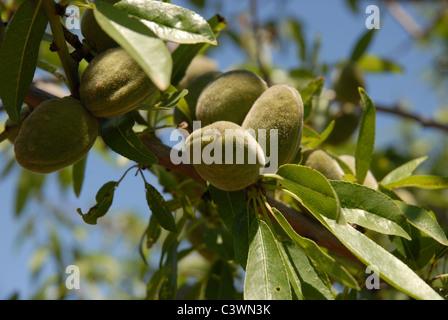 Amandes croissant sur un arbre, Province d'Alicante, Valence, Espagne Banque D'Images