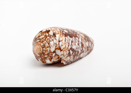 Cône Textile shell, Conus textile, shell, venimeux hihgly Banque D'Images