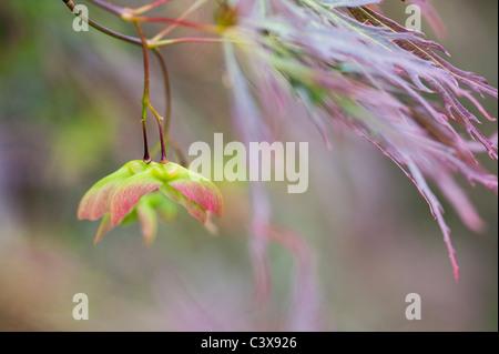 Acer palmatum var. Dissectum. Smooth Japanese maple les feuilles des arbres et les coupelles de semences Banque D'Images