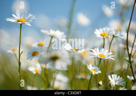 Vue rapprochée de marguerites dans le champ en pleine floraison Banque D'Images