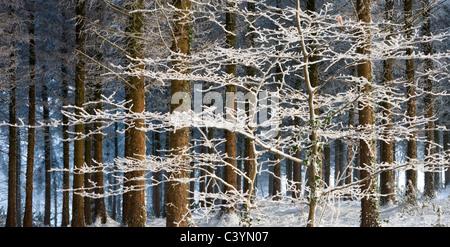 Arbres couverts de neige et de glace dans une pinède, Morchard Morchard Bois, forêts, Devon, Angleterre. Hiver (décembre) Banque D'Images