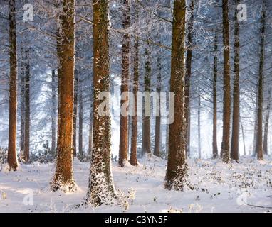 Bois de pins couverts de neige, bois, Morchard Morchard évêque, Devon, Angleterre. Hiver (décembre) 2010. Banque D'Images