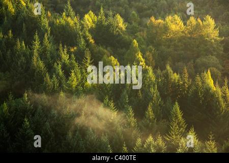 Pins rétro-éclairé le long de la rivière Wye vus de Symonds Yat sur un matin d'automne brumeux