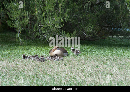 Egyptian goose (Alopochen aegyptiaca) femelle avec les oisons nouvellement véritable Kirstenbosch National Botanical Garden Le Cap AFRIQUE DU SUD Banque D'Images