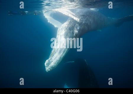 Snorkeler et le rorqual à bosse, Megaptera novaeangliae, Silver Bank, Océan Atlantique, la République Dominicaine Banque D'Images