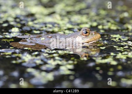 Marsh Frog, Rana ridibunda, grenouille unique dans l'eau, captive, Avril 2011