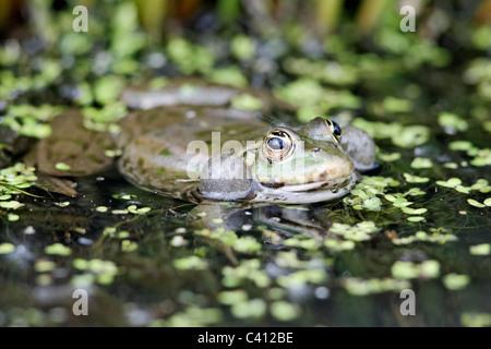 Marsh Frog, Rana ridibunda, grenouille dans l'eau composant unique, captive, Avril 2011
