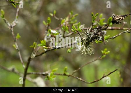 Le lichen poussant sur un Prunus dulcis 'Macrocarpa', amande commune Banque D'Images