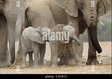Les éléphants du désert, Loxodonta africana, Hoanib rivière à sec, la Namibie, l'Afrique, Janvier 2011 Banque D'Images