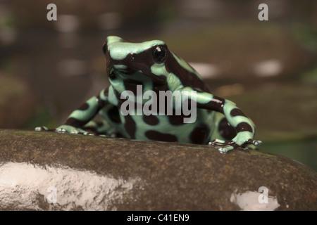 Noir et vert poison dart frog [dendrobates auratus] sur un rocher, portrait Banque D'Images