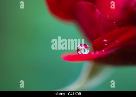 Les gouttes de pluie sur les pétales de roses rouges sur fond vert Banque D'Images
