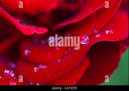 Gouttes de pluie sur les pétales de rose rouge Banque D'Images