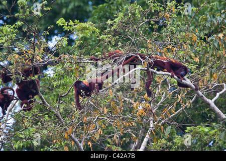 Pérou, Cruz de Mayo, parc national de Manu, montagnes Pantiacolla. Les singes hurleurs rouge ( Alouatta Alonnatta ).