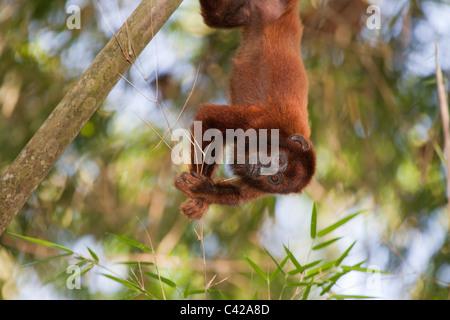 Pérou, Cruz de Mayo, parc national de Manu, montagnes Pantiacolla. Singe hurleur (Alouatta rouge Alonnatta ). Les jeunes.