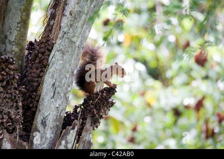 Pérou, Cruz de Mayo, parc national de Manu, montagnes Pantiacolla. Le sud de l'Écureuil rouge Amazon( Sciurus Spadiceus ).