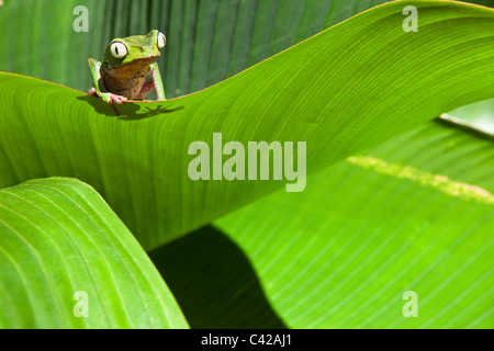 Pérou, Cruz de Mayo, parc national de Manu, montagnes Pantiacolla. Feuille blanche bordée (Phyllomedusa vaillanti grenouille ( ).