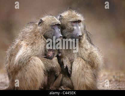 Deux babouins adultes protégeant un bébé de tomber la pluie; Le Parc National Kruger, Afrique du Sud Banque D'Images