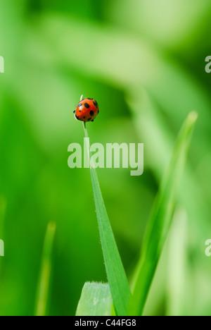 Coccinelle rouge sur l'extrémité de la feuille d'herbe (selective focus sur coccinelle retour) Banque D'Images