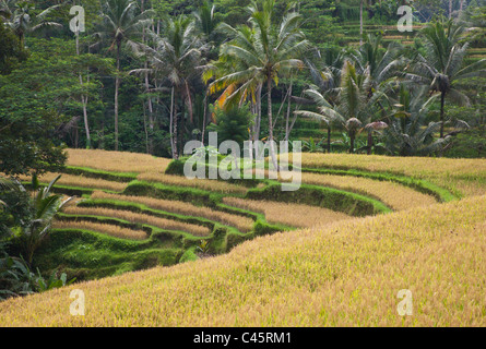 L'CEKING CHAMP DE RIZ TERRASSES non loin d'Ubud - Bali, Indonésie Banque D'Images