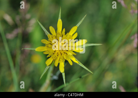 Salsifis des prés - chèvre voyante-barbe - Yellow Goat's-barbe - Jack-go-to-bed-à-midi (Tragopogon pratensis) la Banque D'Images