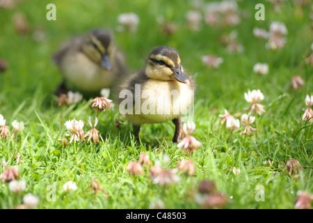 Un gros plan d'une paire de mignon, bébé canetons balade dans l'herbe... Banque D'Images