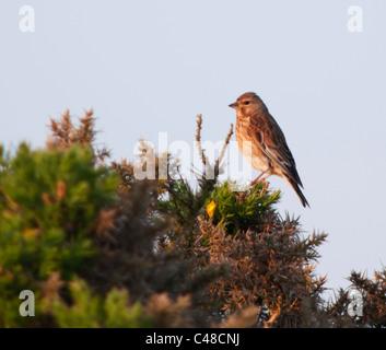 Perché (Carduelis cannabina Linnet femelle) sur le dessus de l'ajonc bush dans golden Morning Light, Pembrokeshire, Banque D'Images